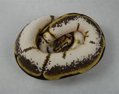 python shedding and feeding 100 python shedding and feeding pinto pied