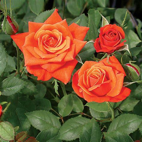 miniature roses denver s dream miniature rose at jackson and perkins