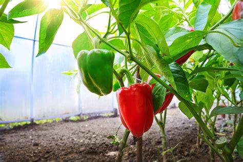 paprika im gew 228 chshaus kultivieren mit anleitung wie es gelingt