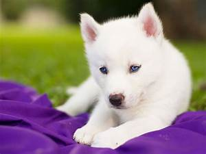 siberian husky puppy white blue eyes HD wallpaper
