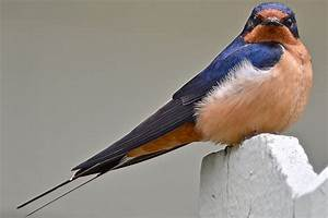 Easy Tips to Attract Swallows, Swifts and Martins