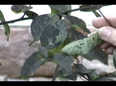 black sooty mold  crape myrtles youtube