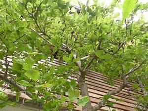 Aprikosenbaum Selber Ziehen : aprikosenbaum marillenbaum ~ A.2002-acura-tl-radio.info Haus und Dekorationen