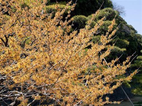 witch hazel tree varieties witch hazel tree for flowers in february