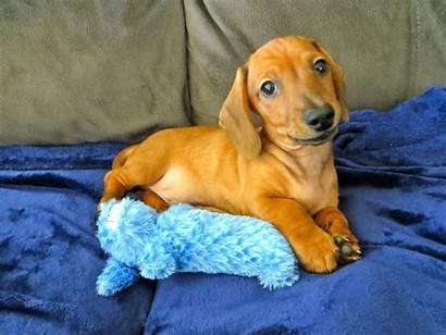Wiener Dog Puppy Lessons