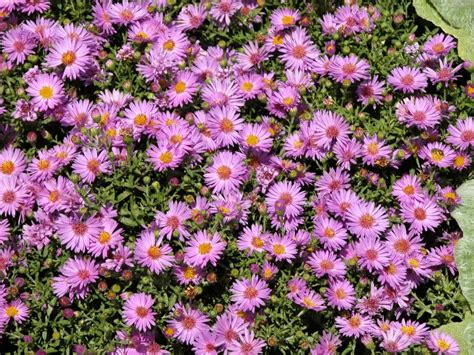 fall perennial flowers planting flowers for fall and winter