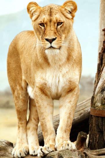 kostenlose bild loewin loewe safari wild tierwelt zoo