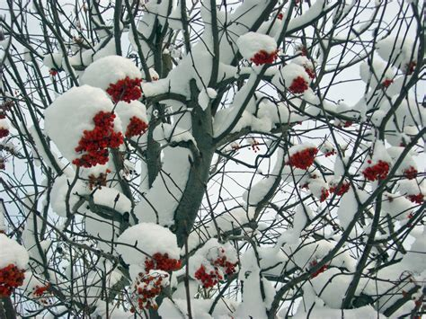 trees with berries in winter trees with red berries in winter images