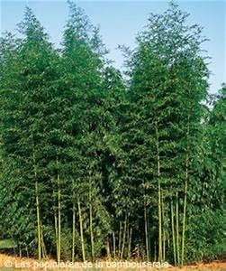 Bambou Pour Haie Brise Vue : choisir un bambou pour un rideau de verdure ou un brise ~ Premium-room.com Idées de Décoration