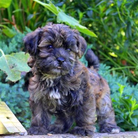 do shorkie poos shed shorkie poo puppies for sale greenfield puppies