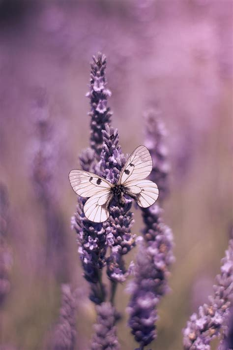 butterfly  lavender photograph  ethiriel photography