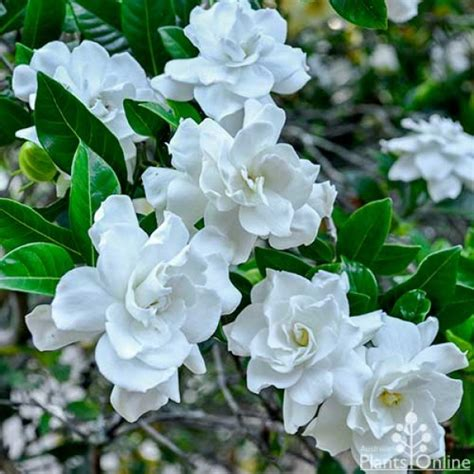 Plants Online Nursery by Gardenia Augusta Magnifica Australian Plants Online