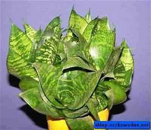 Schädlinge Zimmerpflanzen Klebrige Blätter : bogenhanf sansivieria trifasciata hahnii 39 pflanzen ~ Lizthompson.info Haus und Dekorationen