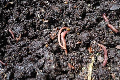 worms in vegetable garden wire worms in lawns http www city data com forum garden 644321 worm images frompo