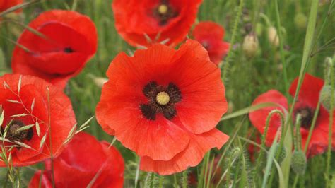 poppies the flower poppy flower wallpapers wallpaper cave