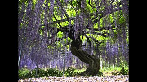 beautiful japan ashikaga flower park relax video hd