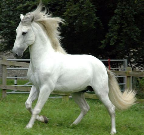 andalusian horse horses most known spanish hd pure amazing weneedfun grey funny wallpapers