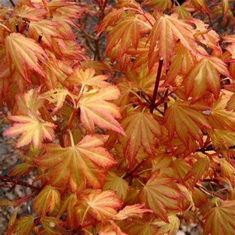 orange japanese maple acer palmatum orange dream buy japanese maple trees