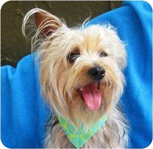 Harry Winston - BEFORE   Adopted Dog   Irvine, CA   Silky ...