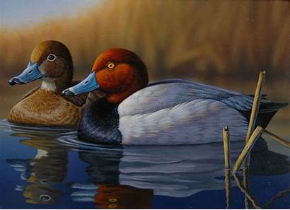 Duck Stamp Winners Oklahoma Redheads Wildlife 2007