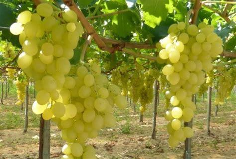 varietà uva da tavola uva da tavola bisogna scommettere sulle nuove variet 224
