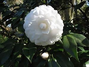 Camellia Japonica Winterhart : online plant guide camellia japonica 39 alba plena 39 alba plena camellia ~ Eleganceandgraceweddings.com Haus und Dekorationen