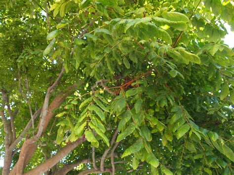 foliage of trees chinese flame tree friends of the urban forest