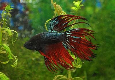 betta fish information   amazing betta splendens