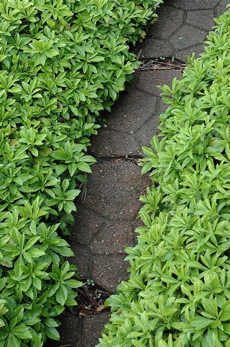 click  view full size photo  green carpet pachysandra