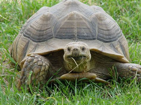 Sulcata Tortoise's First Meal At New Home