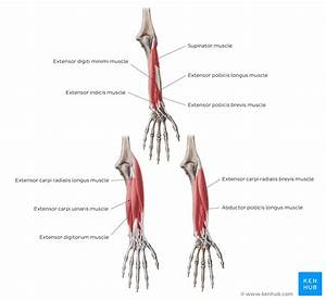 Elbow And Forearm  Forearm Muscles And Bones Anatomy