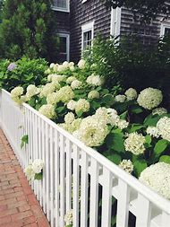 Limelight Hydrangea Garden Design