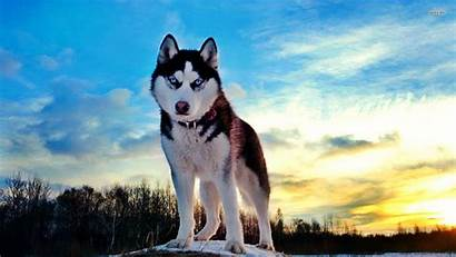Dog Breeds Husky Favorite Cool Need Wallpapers