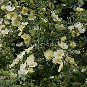 Wilde Triebe Rosen : rosa x cantabrigiensis rosen online kaufen im rosenhof ~ Lizthompson.info Haus und Dekorationen