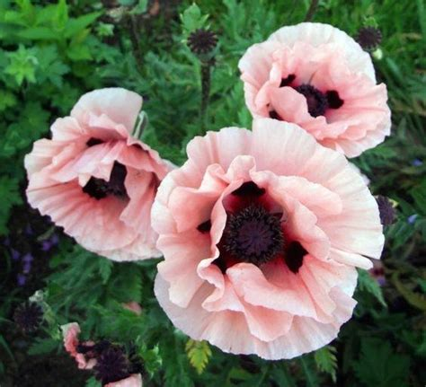 pics of poppy plants do all poppy plants contain opium if not which ones don t quora