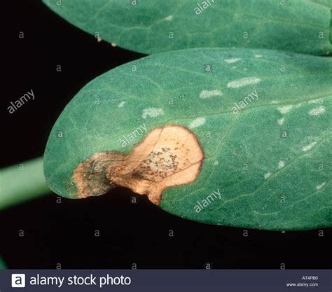 http://www.alamy.com/stock-photo-leaf-lesion-of-ascochyta-leaf-spot-ascochyta-pisi-with-pycnidia-on-5289647.html