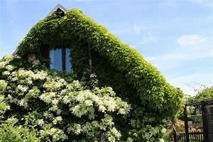 Blühende Kletterpflanzen Winterhart Mehrjährig : bl hende kletterpflanzen 7 mehrj hrige und 4 einj hrige arten ~ Michelbontemps.com Haus und Dekorationen