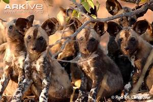 African wild dog photo - Lycaon pictus - G76121 | Arkive