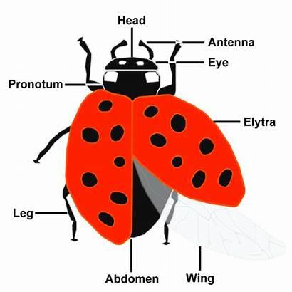 Ladybugs Ladybug Anatomy Parts Lady Diagram Insect