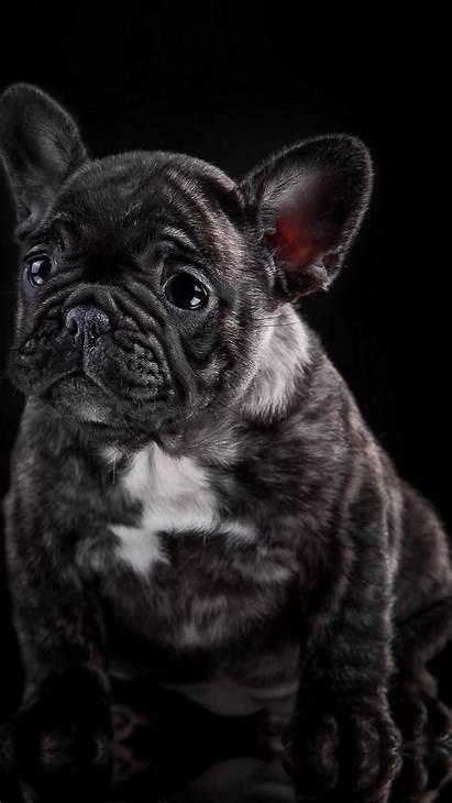 Bulldog French Phone Bulldogs Wallpapers Dog Wallpaperaccess