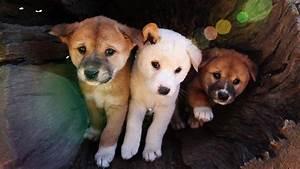 accidenttiud - dingo pups for sale perth