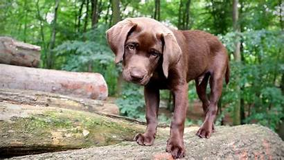 Labrador Chocolate Retriever Wallpapers Brown Puppy Dogs