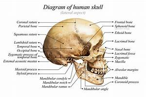 Human Skull Diagram Stock Photo - Download Image Now