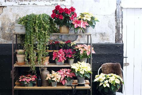 weihnachtsstern pflanze deko die besten 25 weihnachtsstern pflanze ideen auf
