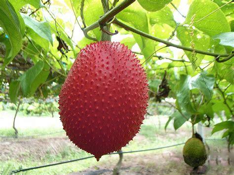 fruta q cura el cancer fruta q cura el cancer fruta q cura el cancer huaya fruit