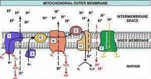 Electron Movement Is Shown Through The Mitochondrial