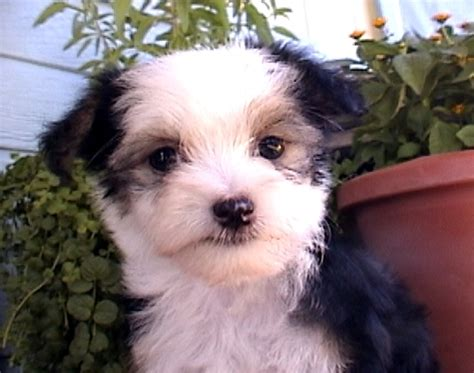 purebred chinese crested puppies  sale find  purebred