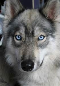 Husky/Wolf Hybrid Handsome pup | Cutie patooties | Pinterest