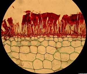 20031113_17 Micrograph - sporangia in Laminaria (aka kelp ...