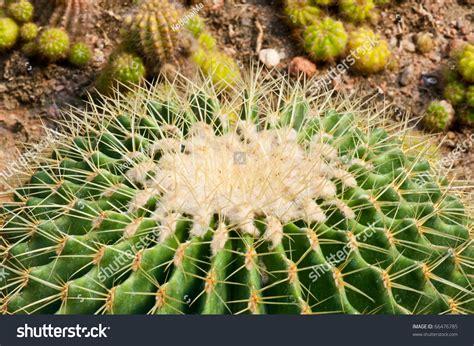 Macro Of Cactus Texture, Thailand. Stock Photo 66476785 ...